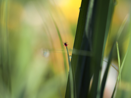 Photo for Tick encephalitis on a little blade of grass - Royalty Free Image