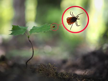 Foto de Tick encephalitis in a young plant in the forest - Imagen libre de derechos