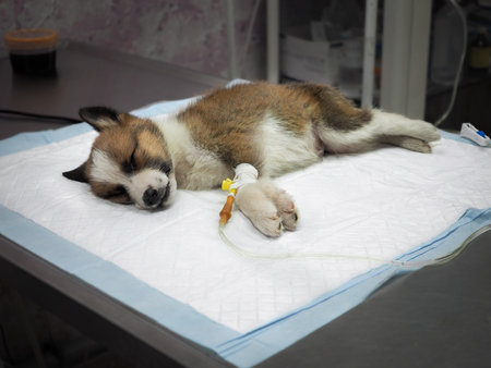 Foto de Illness puppy with intravenous anything on the operating table in a veterinary clinic - Imagen libre de derechos