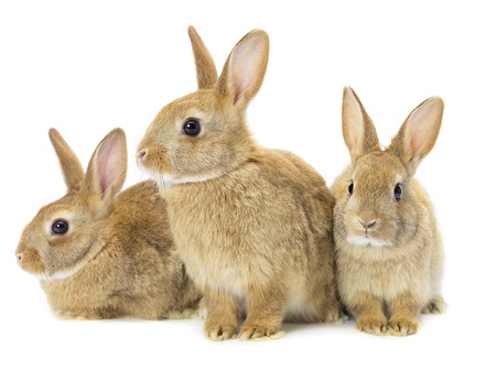 Three brown rabbits isolated on white