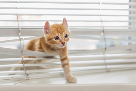 Photo pour Red kitten tangled in window blinds - image libre de droit