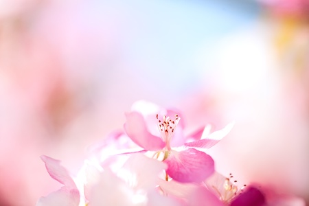 Photo for Sakura flowers blooming. Beautiful pink cherry blossom - Royalty Free Image