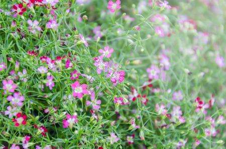 Foto für Close up of Gypsophila in flower garden background in morning sunlight - Lizenzfreies Bild