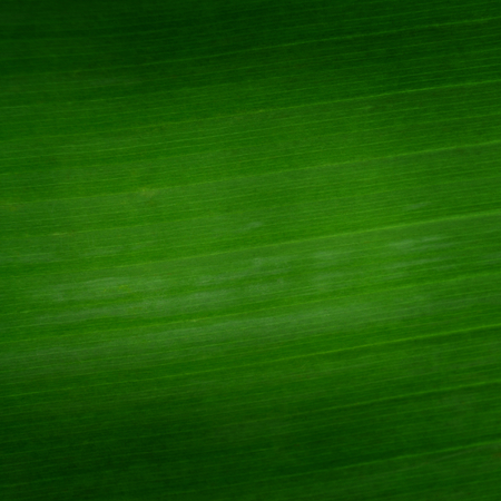 Foto de banana leaf closeup for background - Imagen libre de derechos
