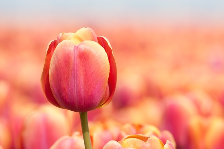 Photo pour Beautiful purple tulip isolated from his background - image libre de droit
