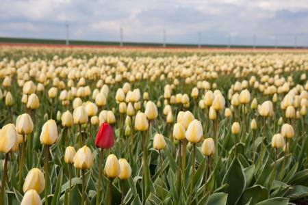 Foto de Lonely red tulip in yellow tulip field - Imagen libre de derechos