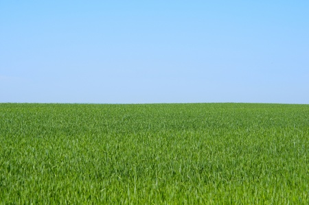 spring wheat field on a background of blue sky