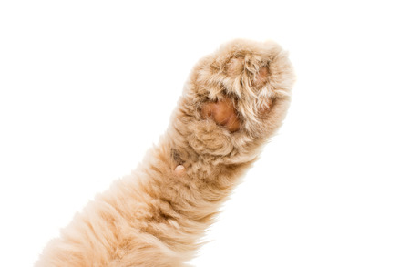 Photo for cat paw isolated on white background - Royalty Free Image