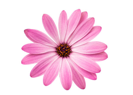 Photo for White and Pink Osteospermum Daisy - Royalty Free Image