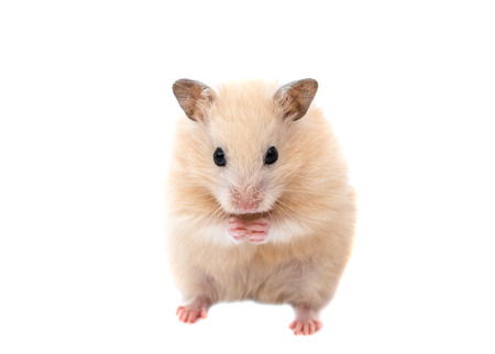 Photo for hamster on a white background - Royalty Free Image