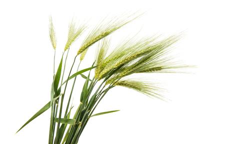 Foto de Green ears of wheat on white background - Imagen libre de derechos
