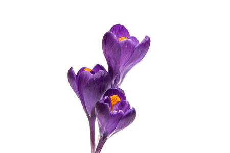 Foto de spring flower of lilac crocus on a white background - Imagen libre de derechos