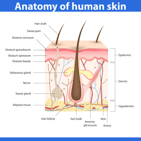 Foto per Structure of human skin, detailed description illustration - Immagine Royalty Free