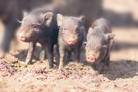 three little pigs. Three small and lovely vignettes. black color. lovely piglets with pink patches