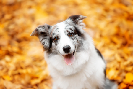 Foto de portrait marble border collie dog sitting with leaves in autumn - Imagen libre de derechos