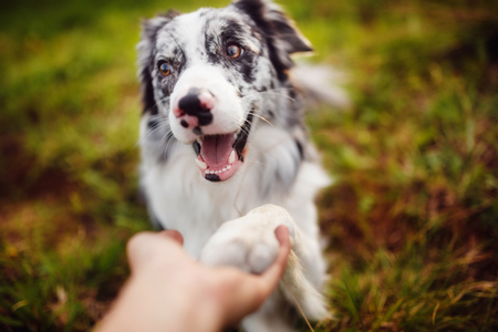Photo for border collie gives paw - Royalty Free Image
