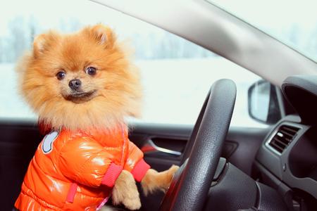 Foto de Pomeranian dog in car. Cute dog in car. - Imagen libre de derechos