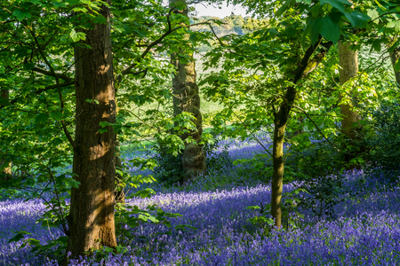 Photo for Carpet of bluebells at Lickey Hill Country Park in Birmingham - Royalty Free Image