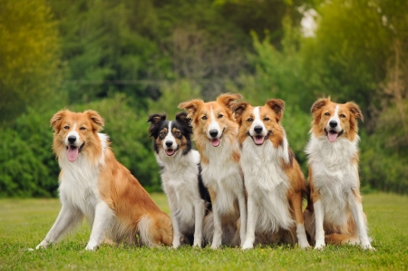 group of five happy dogs border collie sitting on the grass in summer