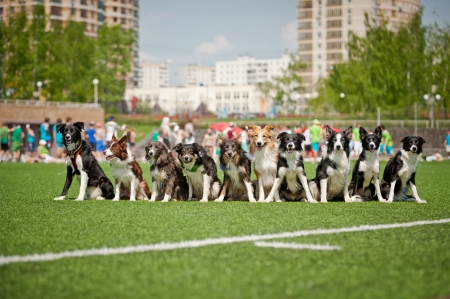 Many cute border collie dogs sitting together