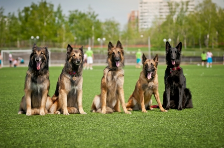 Five cute Belgian Shepherd dogs sitting together