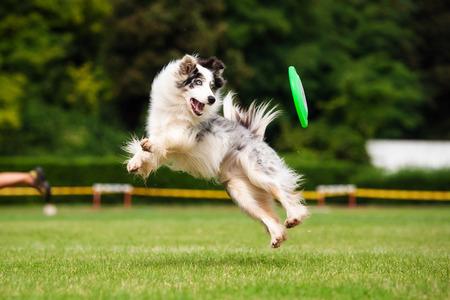 Foto de Border collie dog is jumping in summer - Imagen libre de derechos