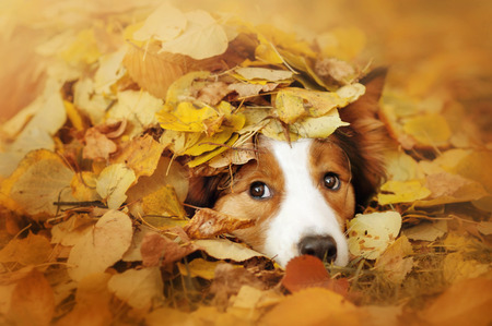 Photo pour young red border collie dog playing with leaves in autumn - image libre de droit