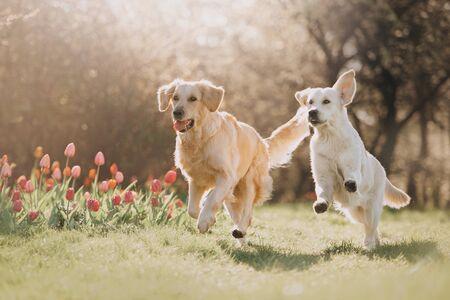 Foto de Two Golden retriever dogs running after each other in spring - Imagen libre de derechos