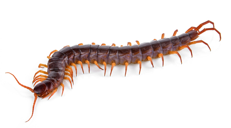 Photo pour centipede isolated on white background - image libre de droit