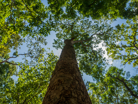 Photo for view of  trees from below with blue sky and clouds - Royalty Free Image