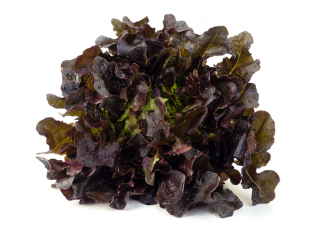 Foto per red oak lettuce isolated on white background. (Healthy food eating concept) - Immagine Royalty Free
