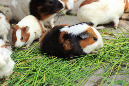 Group of Guinea pig eating the grass