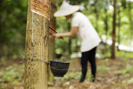 Photo pour tapping latex from the rubber tree Woman worker background - image libre de droit