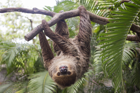Photo pour Young Hoffmann's two-toed sloth (Choloepus hoffmanni) on the tree - image libre de droit