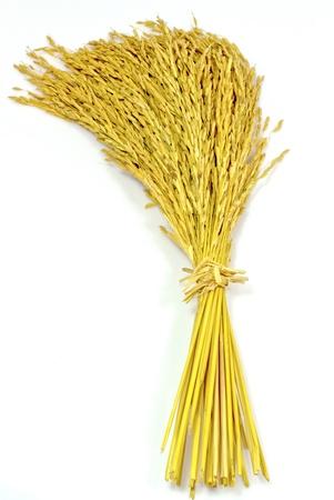 Foto de paddy jasmine rice on white background - Imagen libre de derechos