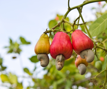 Photo for Cashew nuts growing on a tree This extraordinary nut grows outside the fruit - Royalty Free Image