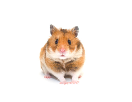 Photo for Cute Syrian hamster isolated on white (selective focus on the hamster eyes) - Royalty Free Image