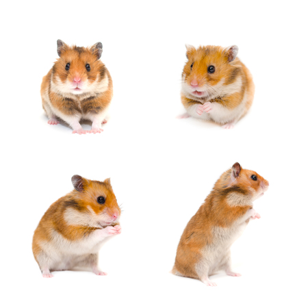 Photo for Set of cute funny Syrian hamsters in different poses (isolated on white) - Royalty Free Image