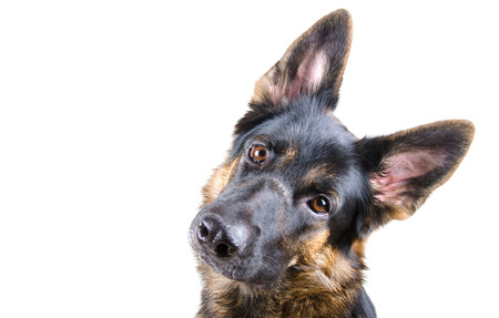 Photo pour Cute German shepherd tilting its head (isolated on white, selective focus on the dog eyes), with copyspace on the left - image libre de droit