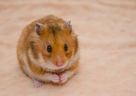 Photo for Funny Syrian hamster with food in its cheek pouches (on a light beige background), selective focus on the hamster eyes - Royalty Free Image