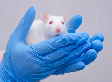Foto de Scared white laboratory rat in the hands of a researcher in a lab (against a gray background) - Imagen libre de derechos