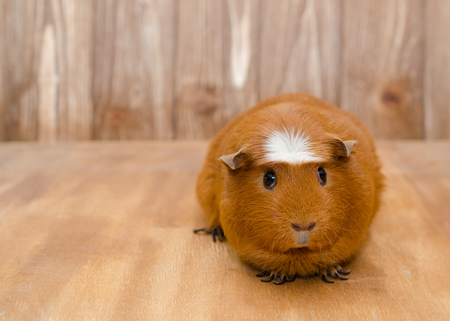 Cute guinea pig on a wooden background (with copy space on the left)