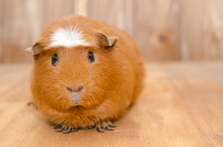Cute guinea pig on a wooden background (with copy space on the right), selective focus on the guinea pig nose