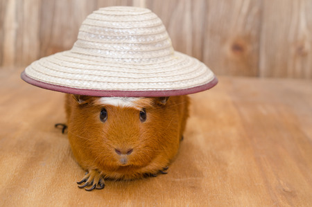 Funny guinea pig wearing a big hat (on a wooden background, with copy space on the right), selective focus on the hat and guinea pig eyes