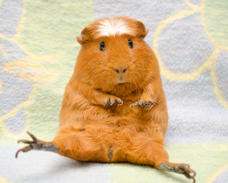 Photo pour Cute scared guinea pig with long nails sitting in a funny pose against a bright background - image libre de droit