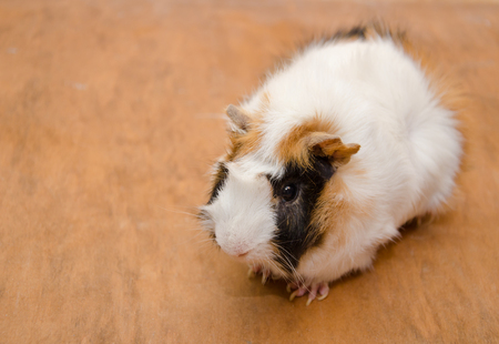 Cute white and brown Abyssinian guinea pig against a wooden background (view from above), copy space on the left