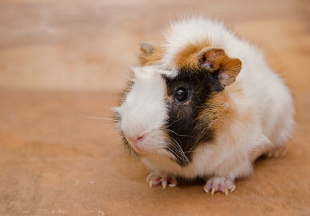 Cute white and brown Abyssinian guinea pig against a wooden background (copy space on the left)