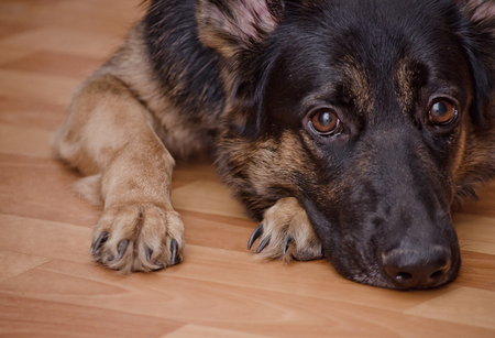 Photo for Sad dog lying on the floor and waiting (selective focus on the dog eyes) as the Missing You concept - Royalty Free Image