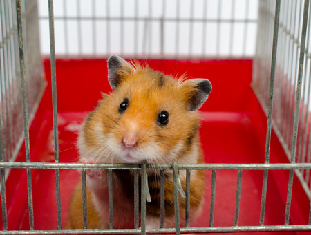 Photo for Cute funny Syrian hamster looking out of the cage (selective focus on the hamster eyes) - Royalty Free Image