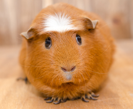 Cute guinea pig on a wooden background, selective focus on the guinea pig nose